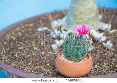 Cactus and flower in pot show nature background