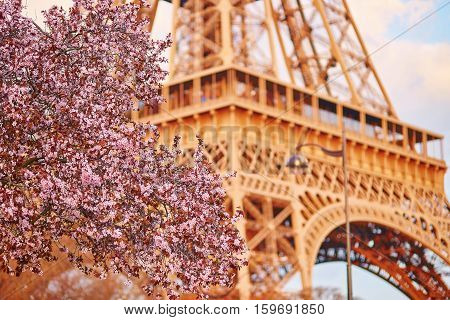 Beautiful Cherry Blossom Tree And The Eiffel Tower. Focus On Flowers