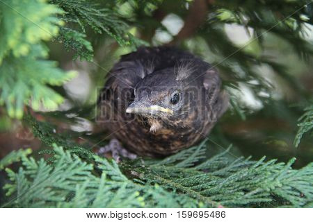 Nestling fledgling sitting in the bushes .