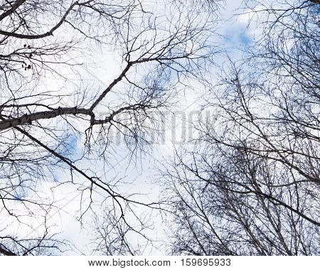 The sky and the branches of the poplar. Poplar in the winter. Poplar background. The background for the text.