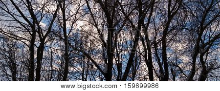 Poplars in winter. Poplar grove. The trees and sky. The silhouettes of the trees. Winter sky. Beautiful sky. Winter landscape.