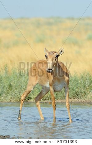 Wild female Saiga antelope (Saiga tatarica) at the watering place in the steppe. Federal nature reserve Mekletinskii Kalmykia Russia August 2015