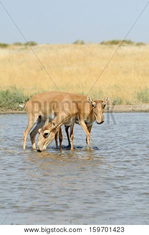 Wild Saiga antelopes (Saiga tatarica) at the watering place in the steppe. Federal nature reserve Mekletinskii Kalmykia Russia August 2015