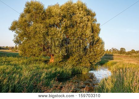 Willow on the bank of the creek among the tall grass, summer evening