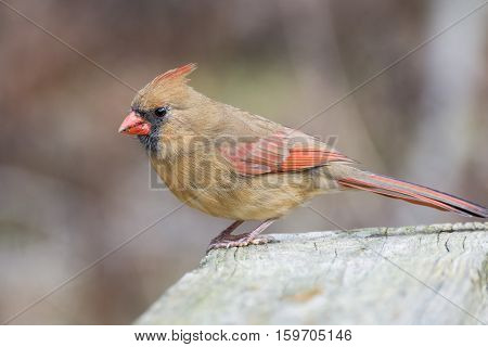 A female cardinals perched on a wooden fence.