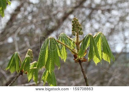 Chestnuts / Spring blooming chestnut trees in the park