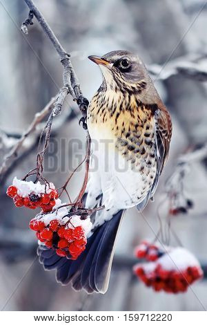 the bird is a Blackbird sitting on a branch of juicy red ash covered with snow in Park at winter