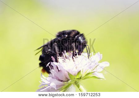 black shaggy bumblebee collecting nectar from pink flower in the meadow