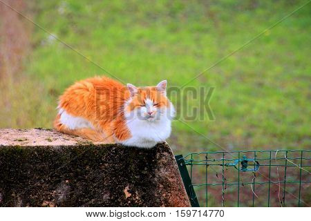 Ginger cat with long red hair is sitting on a wall