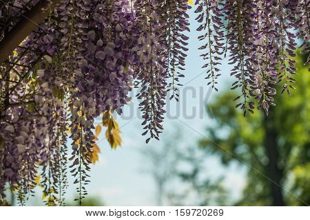Floral background, flowers of wisteria sinensis closeup in garden