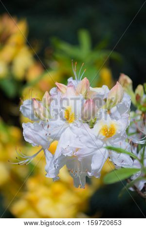White and yellow-flowered azalea called Rhododendron occidentale in spring garden.