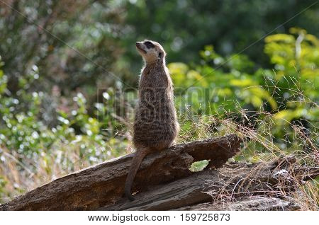 Getting up close with a meerkat sentry.