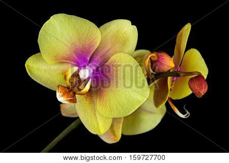 Close-up of yellow-pink orchid flower. Zen in the art of flowers. Macro photography of nature.