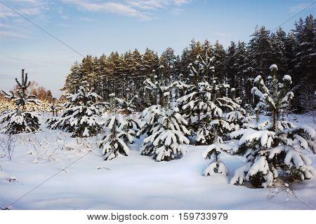 Evening winter landscape pine under weight of snow