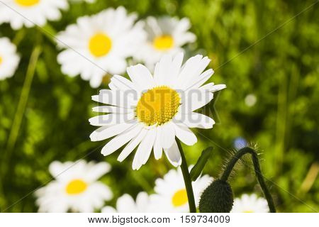 Beautiful Marguerite flower on the meadow in May