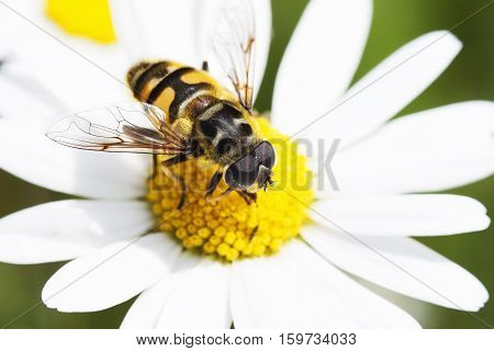 Bee collecting nectar on beautiful marguerite flower