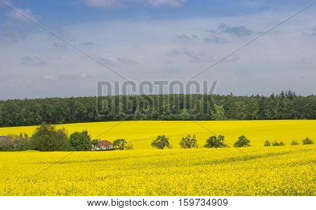 Canola Field under Blue Sky with Clouds