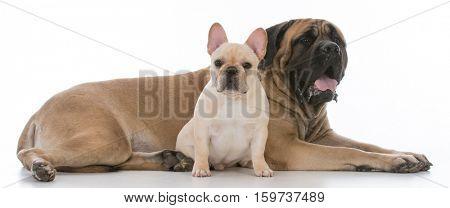 mastiff and french bulldog together on white background