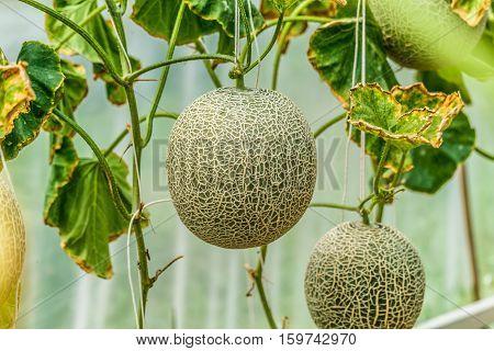 Cantaloupe. Fresh melon on tree. selective focus