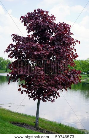 A red maple tree (Acer rubrum) stands near a small man-made lake in Joliet, Illinois during October.