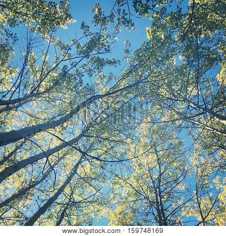 Looking up through tall trees with lush bright green leaves on branches and clear blue sky background.  Thin branches, skinny tall birch trees.