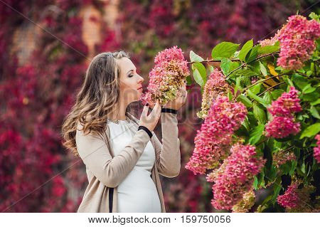 A Pregnant Young Woman Standing At The Red Autumn Hedge, Smelling A Flower Hydrangea. Pregnant Woman