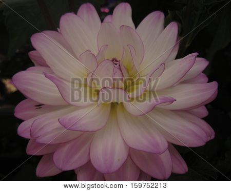 macro photo of a water Lily flower with soft pink petals, as a symbol of beauty and eloquence in the ancient tradition and culture of the peoples of the East