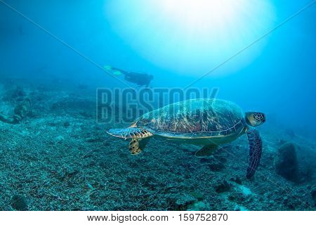 green turtle in clear blue waters with sun rays in front of diver. Hawksbill turtle swim over death of staghorn