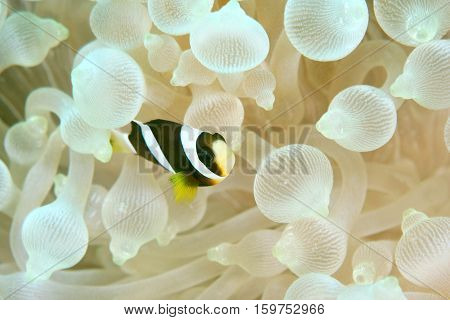 Clark's anemonefish (Amphiprion clarkii) Mataking island Malaysia indo pacific marine underwater world. Copy space.