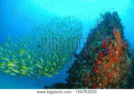 School of yellow fish (Bigeye Snappers) on coral reef underwater Andaman Thailand