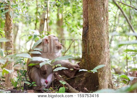 Pig-tailed Macaque monkey lives in the mountains of Khao Yai National park. Thailand. leader in a herd