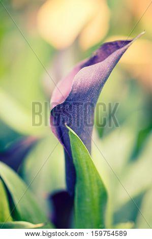 Dark purple calla Lilly flower on green garden background