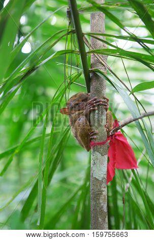 Philippine Tarsier On A Branch