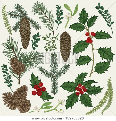 Vector set with Christmas plants. Botanical illustration. Branch of holly spruce pine boxwood spruce and pine cones. Design elements isolated on white background. Engraving style.