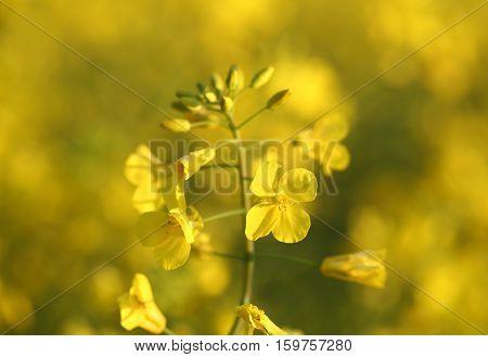 Golden Canola