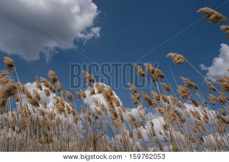 tall bulrush on background sky in autumn