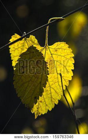 Yellow leaves on a tree at sunny autumn day, Deliblatska pescara, Serbia