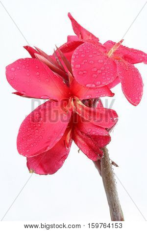 Reddish pink Canna Lily fower with drop of water isolated on white background.
