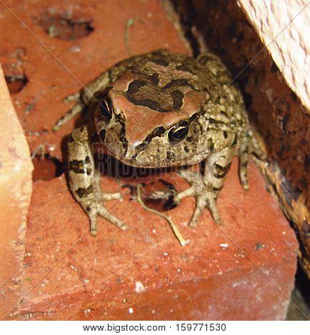 Western Leopard Toad sitting still on a red clay brick, in a dark hole.