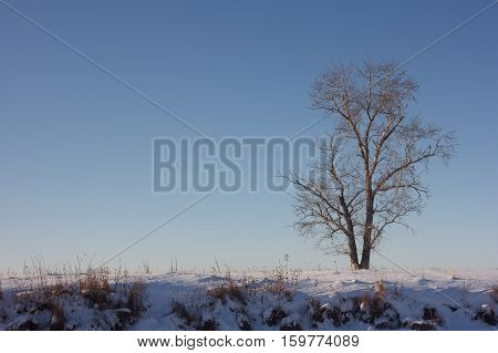Poplar on the outskirts of Russian village