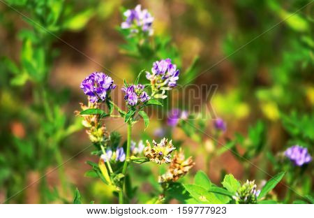 Alfalfa Medicago sativa also called lucerne is a perennial flowering plant in the pea family