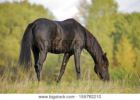 Beautiful Black Arabian Horse grassing at pasture