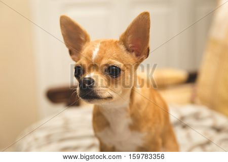 Very cute chihuahua puppy looking ahead with ears perked up. Tan, merle, fawn color.