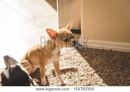 Chihuahua puppy watches other dog get petted while sitting in a modern home living room in the daylight.