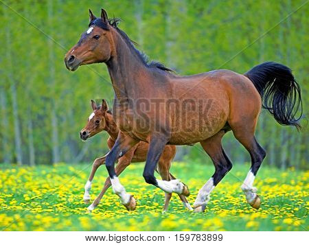 Arab Bay Mare and Foal running together in meadow of flowers