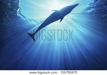 Bottlenose dolphin (tursiops truncatus), underwater view