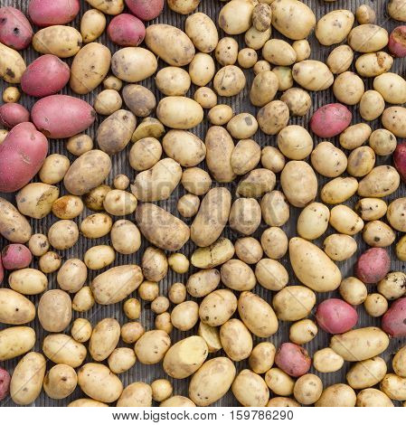Top view on organic potatoes of different shapes and sizes. Havest in autumn.