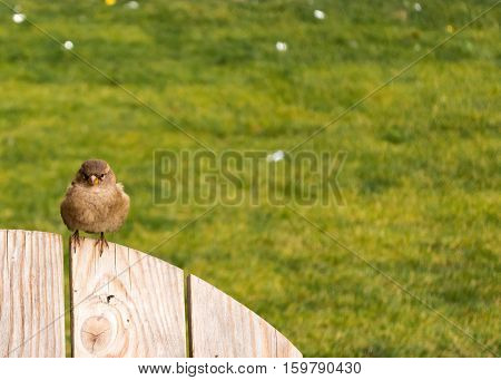 Auburn sparrow sitting on the wooden back of a chair or a fence. Looking directly at you