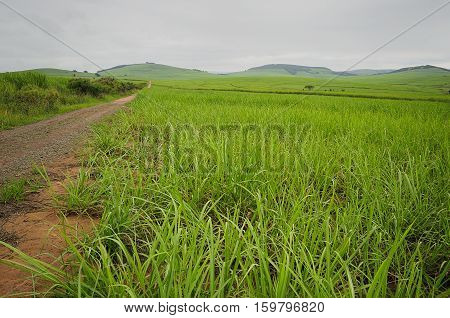Young sugar cane plants in Kwa Zulu Natal, South Africa