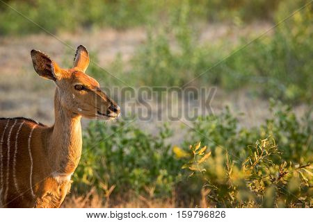 Female Kudu In The Kruger National Park, South Africa.